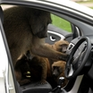 Hyundai-i30-Monkeys-5[2]